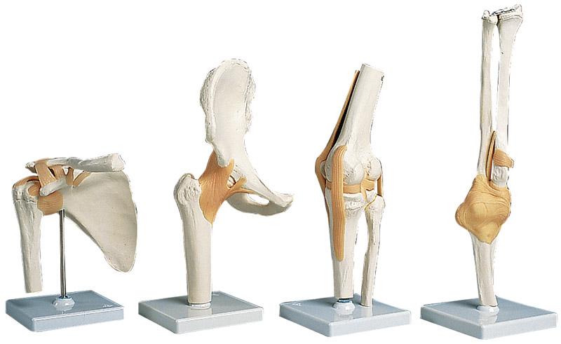 Anatomical models integrated medical hip shoulder knee elbow ccuart Images