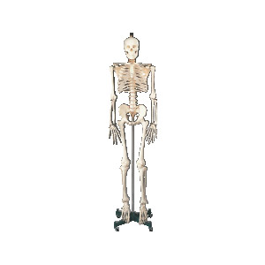 Standard Skeleton with Stand