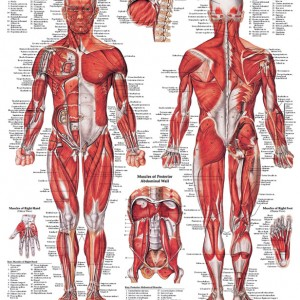 Integrated Units Of The Muscular System 104