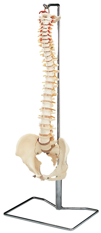 Spine Model with Stand