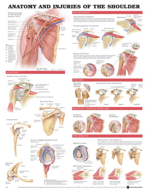 Anatomy & Injuries of the Shoulder